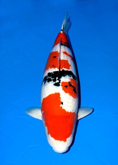 Nogyosai grand champion for Champion koi fish for sale